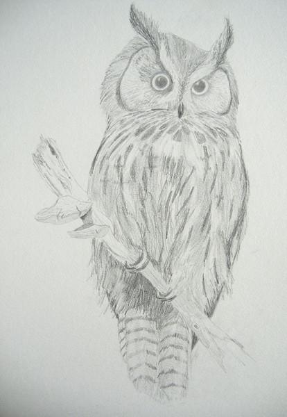 Tiere, Vogel, Natur, Zeichnung, Bleistiftzeichnung, Uhu