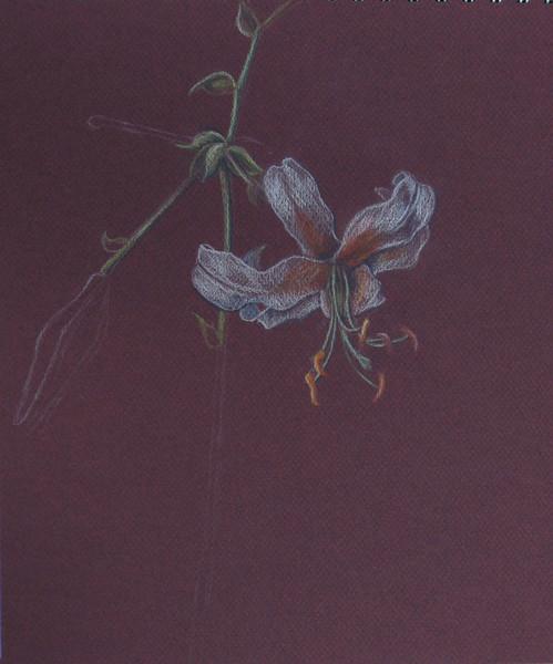 Skizze, Lilie, Buntstiftzeichnung, Zeichnung, Pflanzen, Zeichnungen