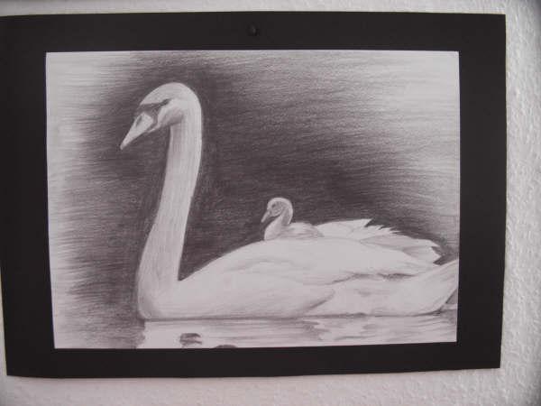 Tiere, Schwan, Bleistiftzeichnung, Cisne, White swan, Zeichnung
