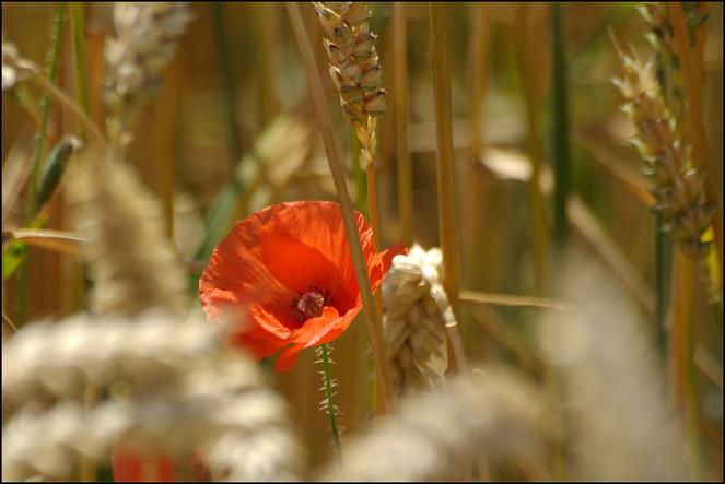 Idylle, Mohn, Landschaft, Blumen, Getreide, Rot