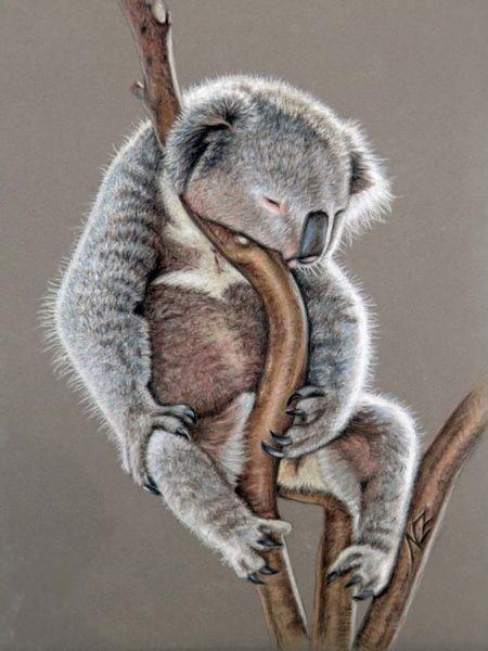 Koalas, Malerei, Pastellmalerei, Australien, Portrait, Schlaf