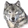 Der Wolf - animal buntstift fell hund tier tierportrait wolf zeichnung