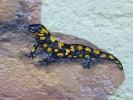 Salamander, Wandmalerei