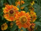Sonnenbraut, Fotografie, Stauden, Blumen