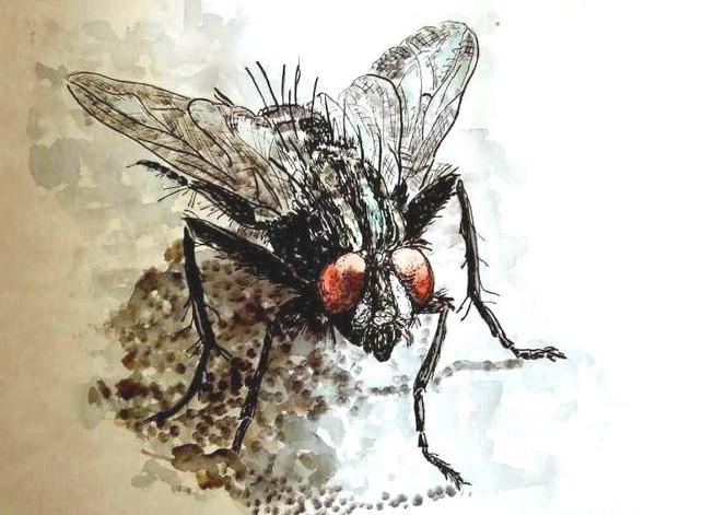 Tiere, Insekten, Rot schwarz, Fliege, Malerei, Aquarell