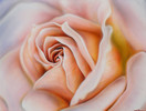 Zart, Rose, Malerei, Pflanzen