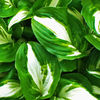Nahaufnahme, Blätter, Weiß, Grün