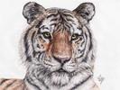 Panthera, Tigris, Tiger, Linnaeus