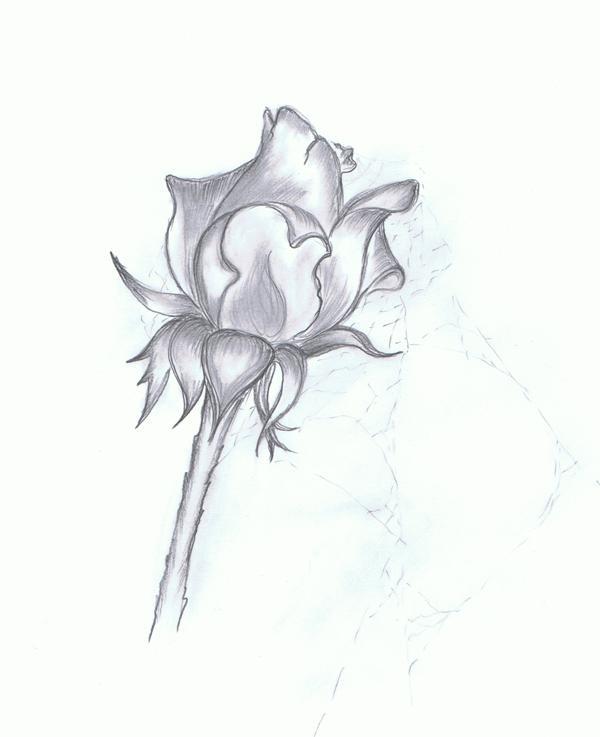 Rosen bleistiftzeichnung  Bild: Rose, Skizze, Grafik, Bleistiftzeichnung von Lena bei KunstNet