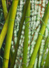 Bambus, Grün, Gelb, Ölmalerei