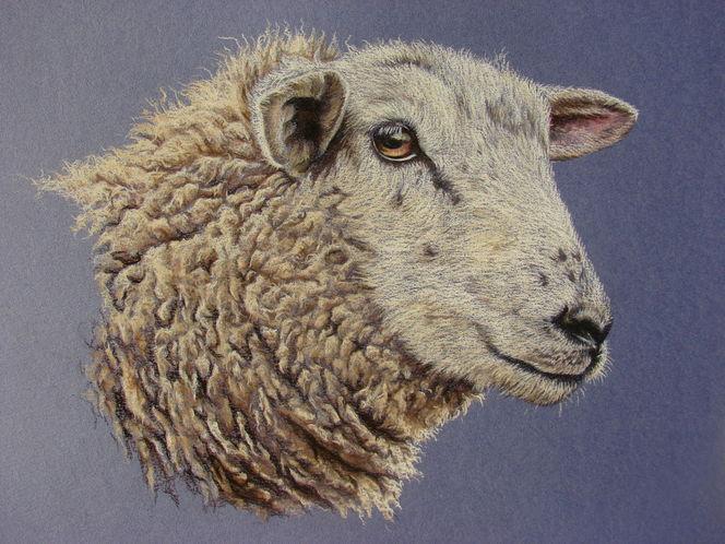 Tierzeichnung, Schäfchen, Wolle, Tierportrait, Schaf, Malerei
