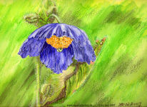 Buntstiftzeichnung, Mohn, Torchon, Blüte