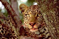 Tiere, Afrikaalaska, Afrika, Fotografie