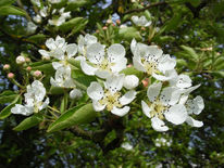 Fotografie, Kirschblüten