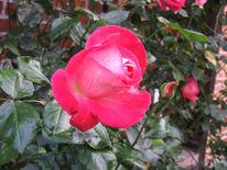 Fotografie, Herbst, Rose, Rostock