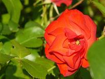 Blumen, Rose, Fotografie, Grün
