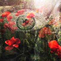 Mohnblumen, Wiese, Augen, Licht