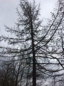Baum, Grau, Lärche, Fotografie