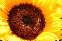 Sonne, Sommer, Sonnenblumen, Fotografie