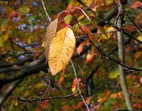 Blätter, Knospe, Kirschbaum, Fotografie