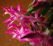 Kaktus, Fotografie, Stillleben, Schlumbergera