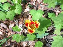 Tulpen, Ahorn, Fotografie