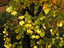 Herbst, Ahorn, Fotografie