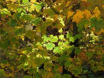 Ahorn, Herbst, Fotografie