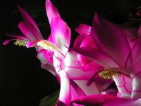 Schlumbergera, Fotografie, Kaktus, Landschaft