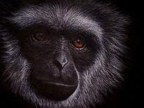 Realismus, Java gibbon, Augen, Affe