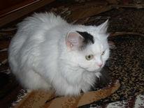Katze, Schwarz weiß, Pinnwand
