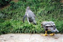 Fotografie, Pinguin, Tiere,
