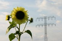 Fotografie, Sonnenblumen, Berlin, Landschaft
