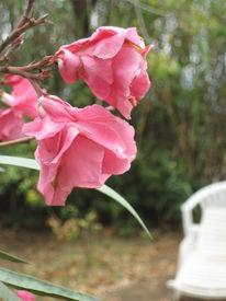 Oleanderblüte, Vordergrund, Fotografie, Weiß