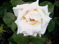 Rose, Landschaft, Fotografie, Natur