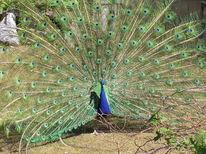 Pfau, Zoo, Farben, Blau
