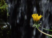 Löwenzahn, Blüte, Wasserfall, Gelb