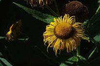 Sommer, Sonnenhut, Gelb, Fotografie