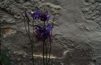 Mauer, Grau, Violett, Blumen
