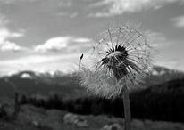 Fotografie, Pusteblumen, Landschaft, Sonnenblumen