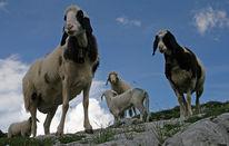 Schaf, Neugier, Lamm, Fotografie