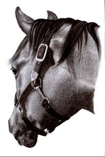 Portrait, Pferde, Viertel, Wallach