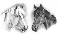 Portrait, Haflinger, Warmblut, Pferde