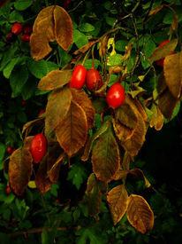 Natur, Fotografie, Hageabutten, Herbst