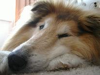 Collie, Müde, Tiere, Natur