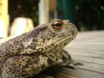 Frosch, Kröte, Tiere, Orange