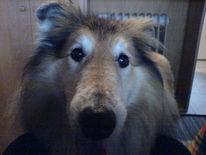 Collie, Hund, Pinnwand