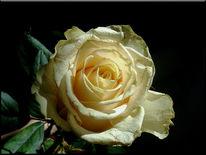 Blüte, Blumen, Fotografie, Schwarz weiß