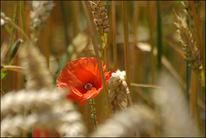 Blumen, Getreide, Rot, Feld