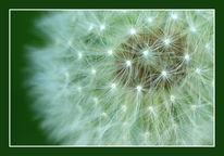 Pusteblumen, Löwenzahn, Fotografie